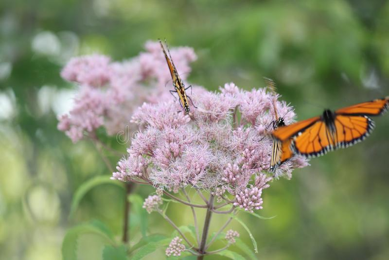 Plexippus Даная ` s бабочки монарха на фиолетовом цветке стоковая фотография