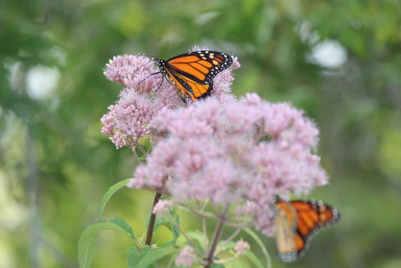 Plexippus Даная ` s бабочки монарха на фиолетовом цветке стоковые изображения rf