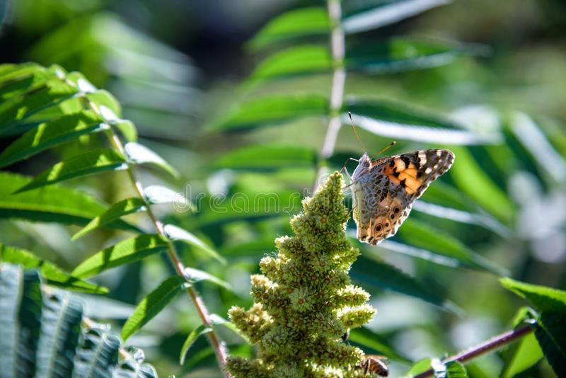Plexippus Danaus πεταλούδων μοναρχών Οι πεταλούδες μοναρχών συγκεντρώνονται μαζί στα πεύκα και τα δέντρα ευκαλύπτων κατά τη διάρκ στοκ φωτογραφία με δικαίωμα ελεύθερης χρήσης