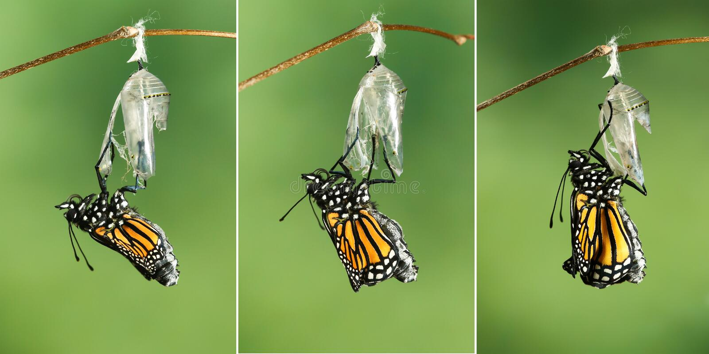 Plexippus Danaus πεταλούδων μοναρχών που ξεραίνει τα φτερά του μετά από το EMER στοκ φωτογραφία