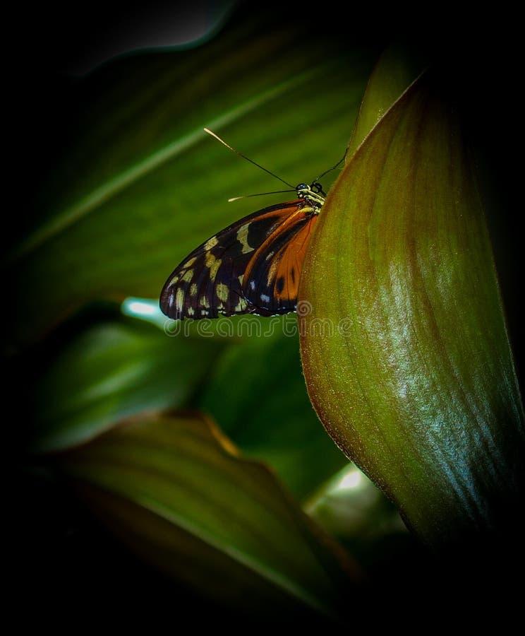 Plexippus del Danaus della farfalla di monarca immagini stock