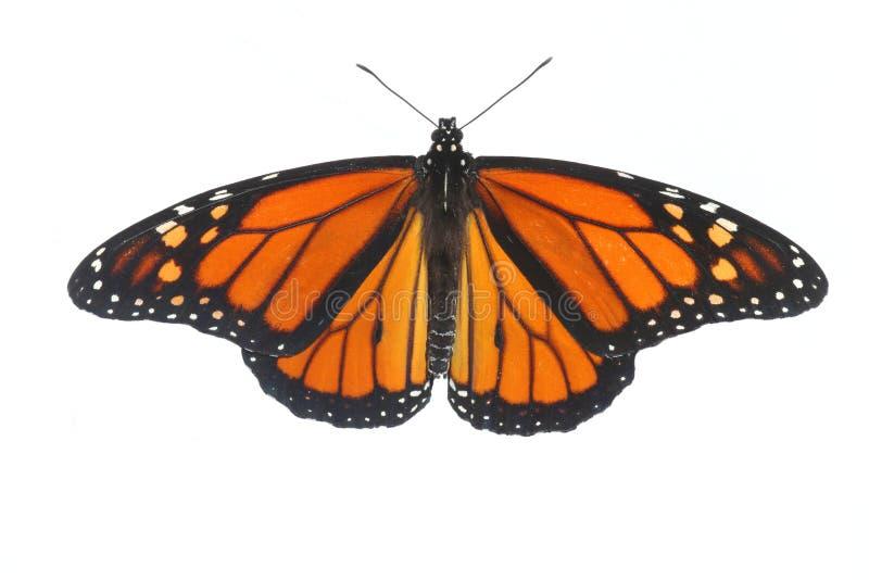 Plexippus för danaus för fjäril för manlig monark på vit fotografering för bildbyråer