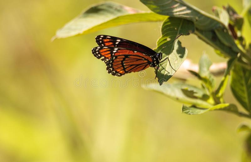 Plexippus för Danaus för monarkfjäril på ett mjölkaogräs arkivfoton