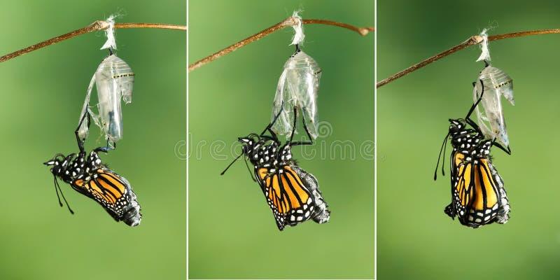 Plexippus för Danaus för monarkfjäril som torkar dess vingar efter emer arkivbild
