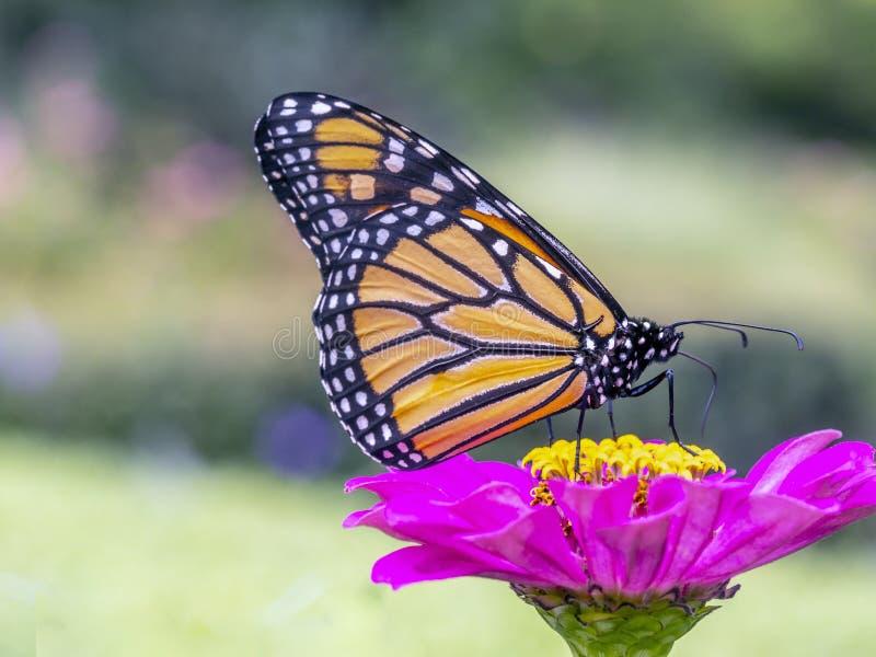 plexippus för fjärilsdanausmonark arkivbilder