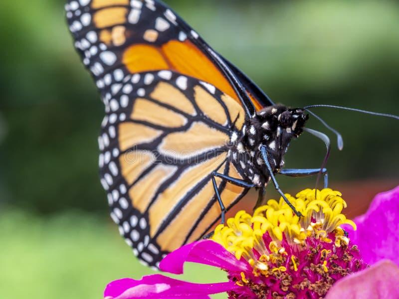 plexippus för fjärilsdanausmonark arkivbild