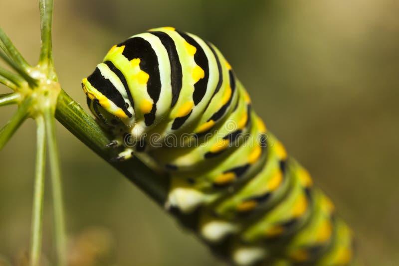 plexippus för monark för fjärilscaterpillardanaus royaltyfri fotografi