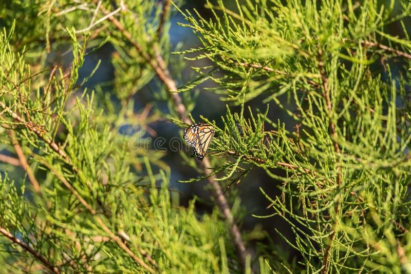 Plexippusen för Danaus för monarkfjäril på sörjer trädet royaltyfria foton