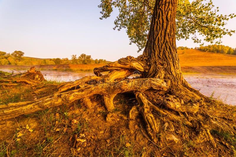 Plexo de lujo de las raíces desnudas del árbol imagen de archivo