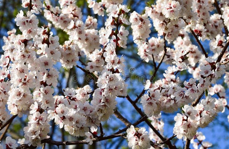 Plexus av Sakura filialer som täckas med vårblommanärbild arkivfoton