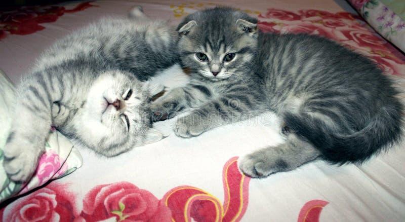 Pli écossais de chats et mensonge droit écossais sur le lit, chat, chats, animaux familiers, écossais photo libre de droits