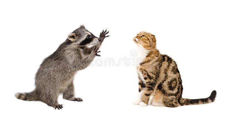 Pli écossais drôle de raton laveur et de chat photo stock