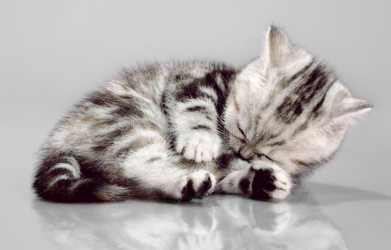 Pli d'écossais de chaton images libres de droits