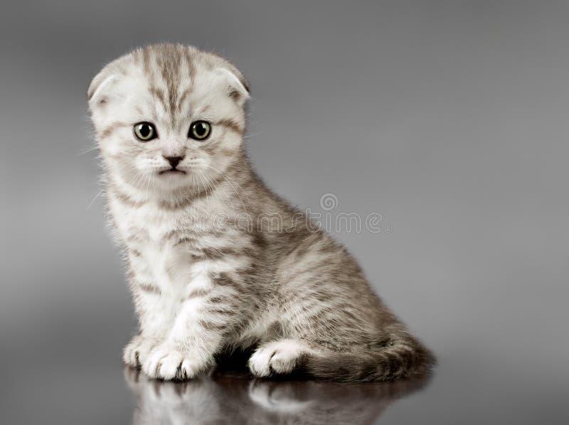 Pli d'écossais de chaton image stock