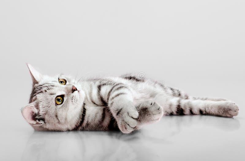 Pli d'écossais de chaton photos libres de droits