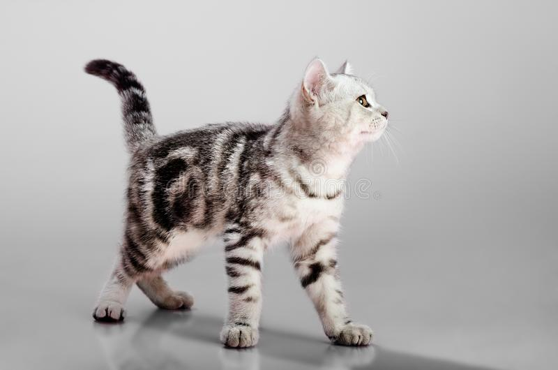 Pli d'écossais de chaton photo stock