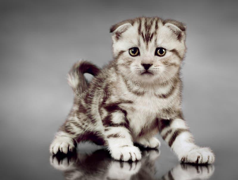 Pli d'écossais de chaton photos stock