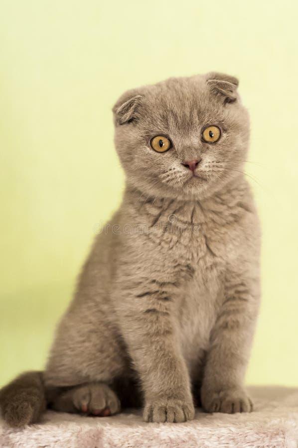 Pli Kitty d'écossais images stock