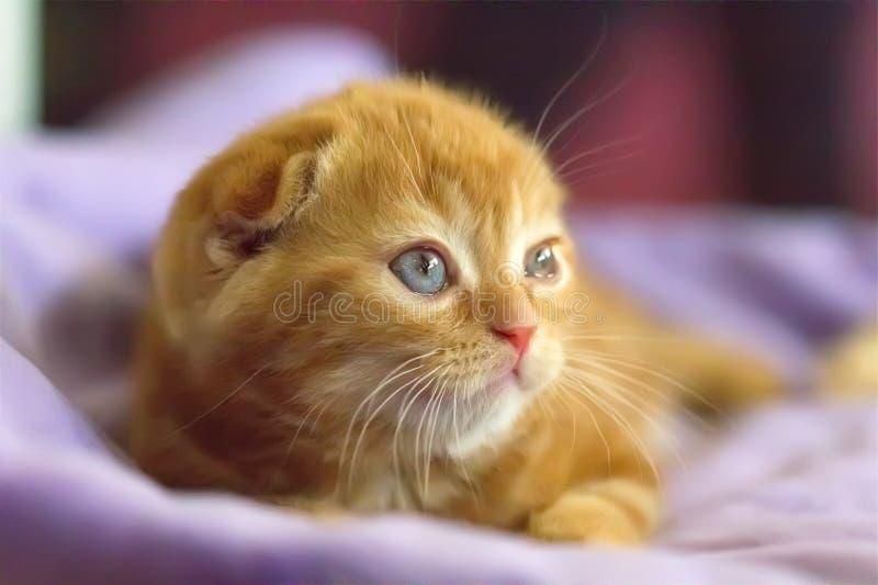 Pli rouge mignon d'écossais de chaton photos stock