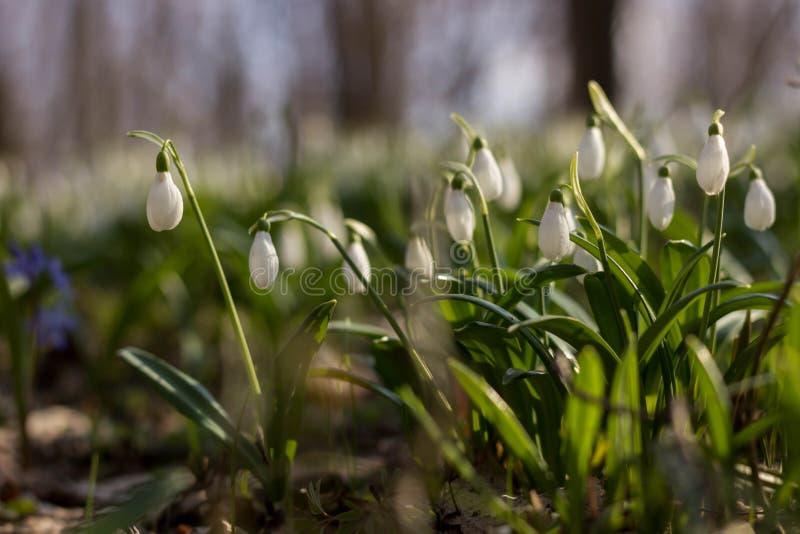 Plicantus Galanthus λουλουδιών άνοιξη Snowdrop Φρέσκος πράσινος συμπληρώνοντας καλά τα άσπρα άνθη Snowdrop Το Snowdrops είναι ένα στοκ φωτογραφία με δικαίωμα ελεύθερης χρήσης