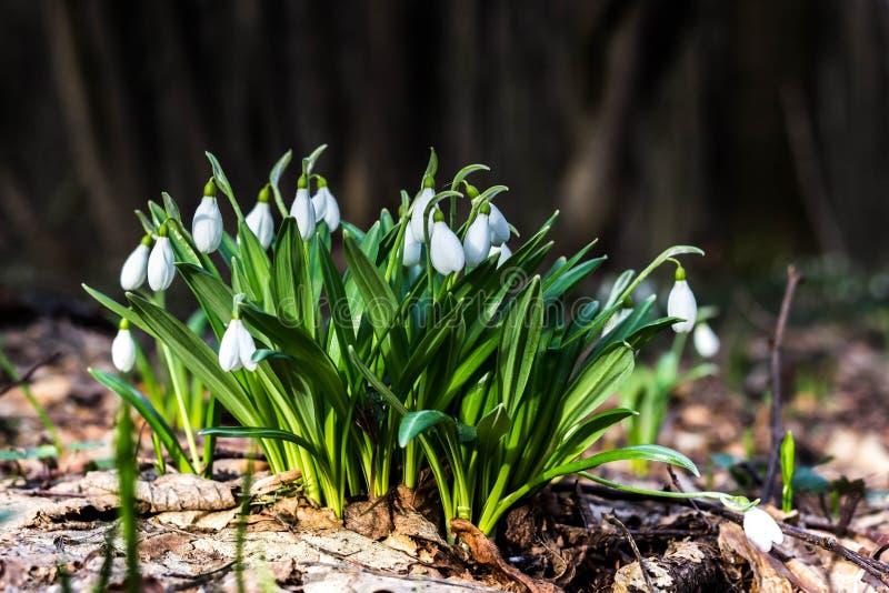 Plicantus Galanthus λουλουδιών άνοιξη Snowdrop Φρέσκος πράσινος συμπληρώνοντας καλά τα άσπρα άνθη Snowdrop Το Snowdrops είναι ένα στοκ φωτογραφία