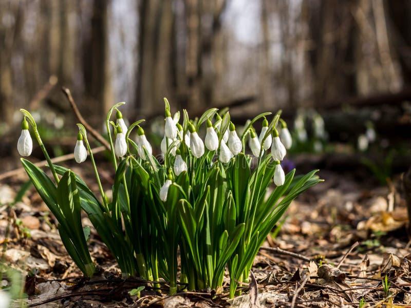 Plicantus Galanthus λουλουδιών άνοιξη Snowdrop Φρέσκος πράσινος συμπληρώνοντας καλά τα άσπρα άνθη Snowdrop Το Snowdrops είναι ένα στοκ φωτογραφίες