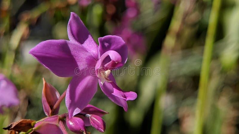 Plicata púrpura de los spathoglottis de las flores de la orquídea u orquídea de tierra filipina imagenes de archivo