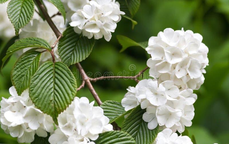 Plicatum Viburnum στοκ εικόνες