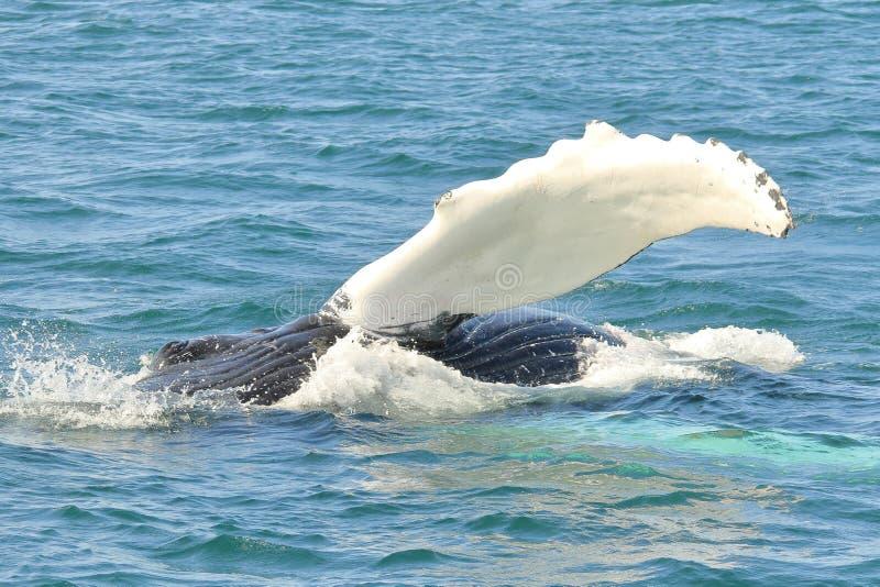 Plis, oeil et aileron de baleine de bosse photo libre de droits