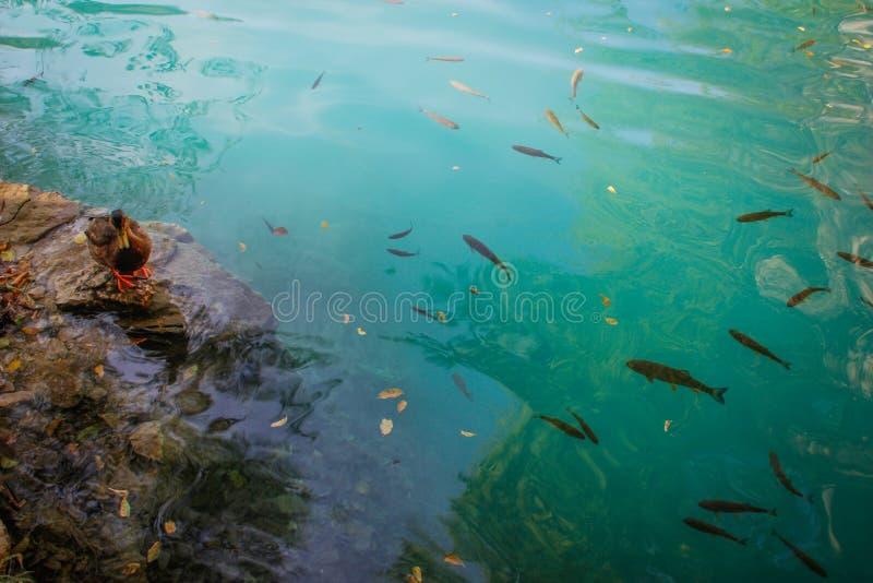 Plitvice sjöar med kaskader av vattenfall Klart kallt vatten för smaragd med anden och fisken fotografering för bildbyråer