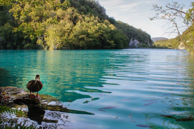 Plitvicemeren met cascades van watervallen Smaragdgroen duidelijk koud water met eend en vissen royalty-vrije stock afbeeldingen