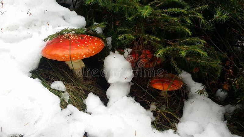 plocka svamp giftigt arkivbild