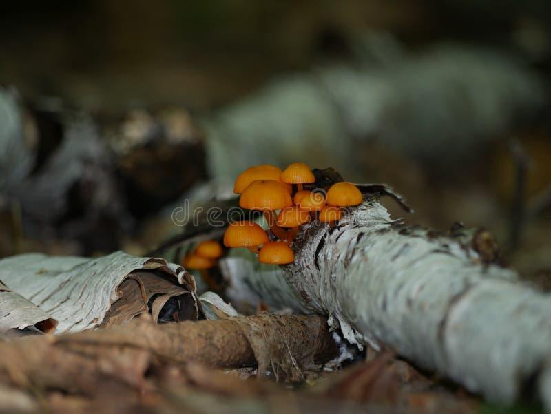 plocka svamp orangen royaltyfri bild