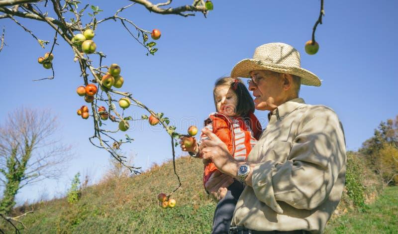 Plockningäpplen för hög man och liten flickafrån träd fotografering för bildbyråer