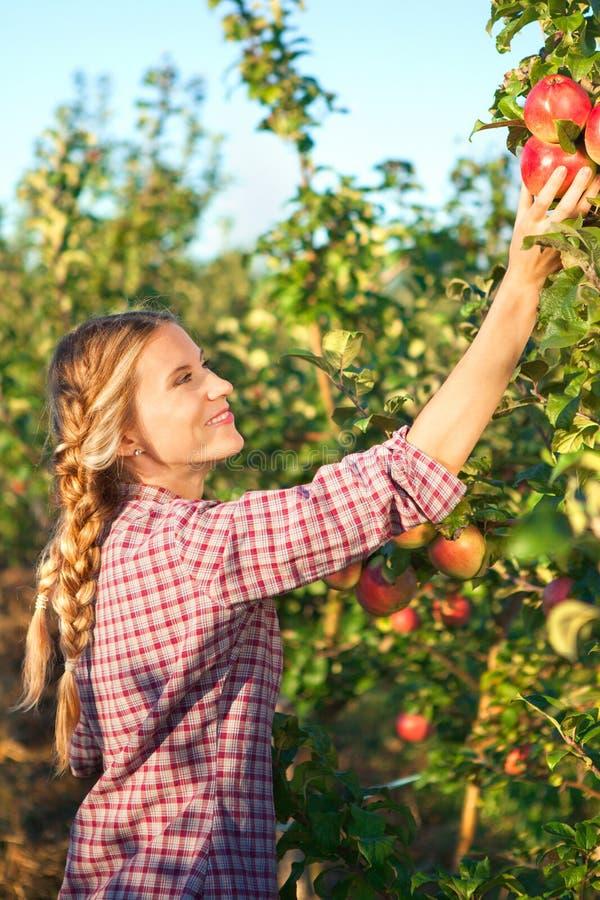 Plockningäpplen för ung kvinna från äppleträd på en älskvärd solig summa royaltyfria foton