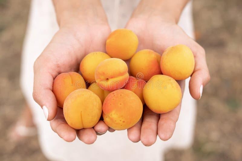 Plockning av aprikors arkivbild