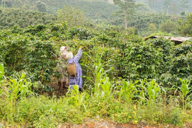 Plockning av kaffe i Vietnam nära Da-laten arkivfoton