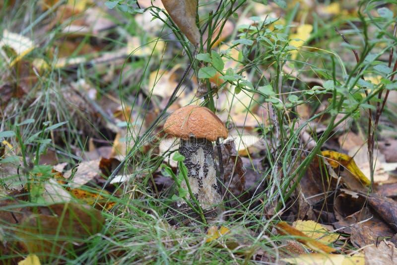 Plockning för Leccinumaurantiacumchampinjonen plocka svamp höstskogfa arkivfoto