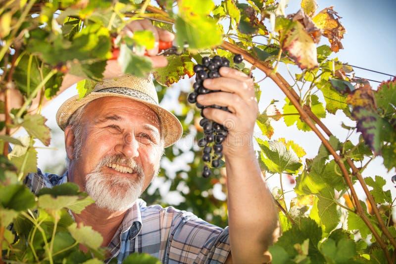 Plockningdruvor i vingården arkivbilder