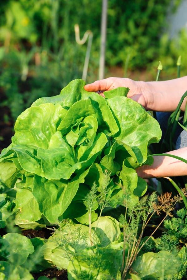 Plockninggrönsaker royaltyfri bild