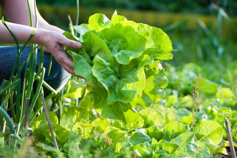 Plockninggrönsaker fotografering för bildbyråer
