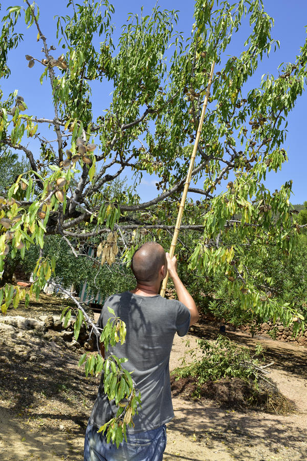 Plockningmandlar för ung man från ett mandelträd royaltyfria bilder