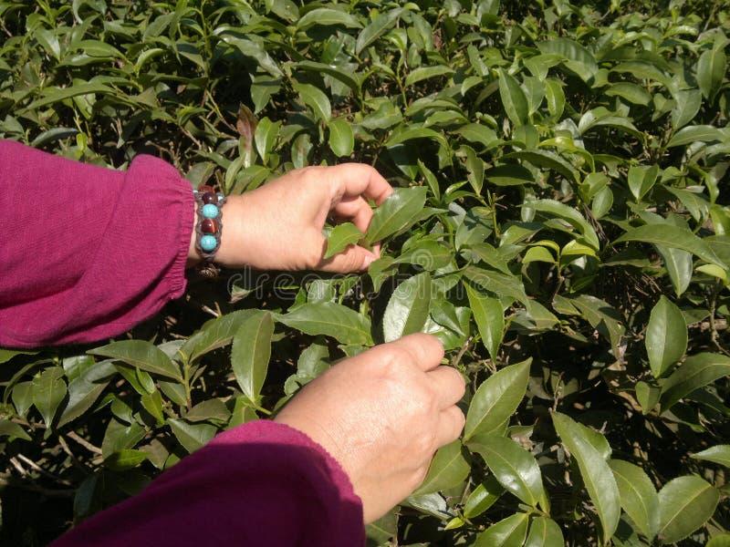 Plockningte Gröna teblad på kolonin royaltyfri fotografi