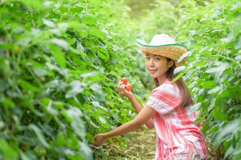 Plockningtomater för ung kvinna i grönsakträdgård royaltyfri fotografi