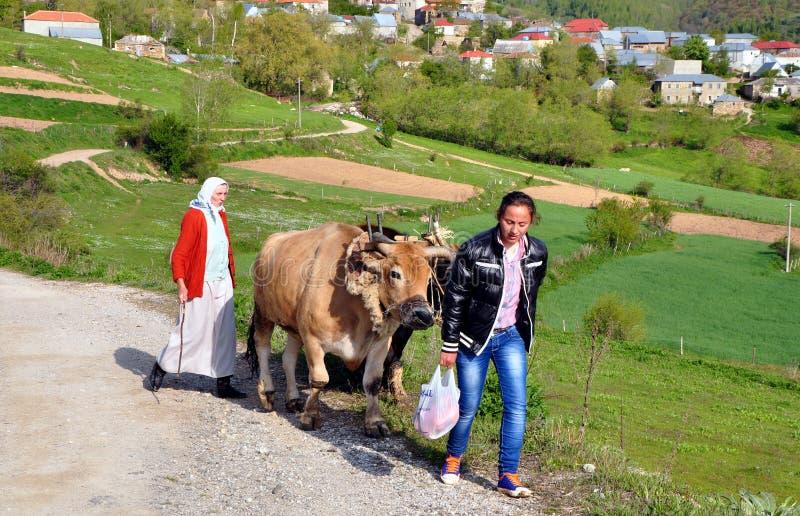 Ploga med oxar, Albanien royaltyfri foto