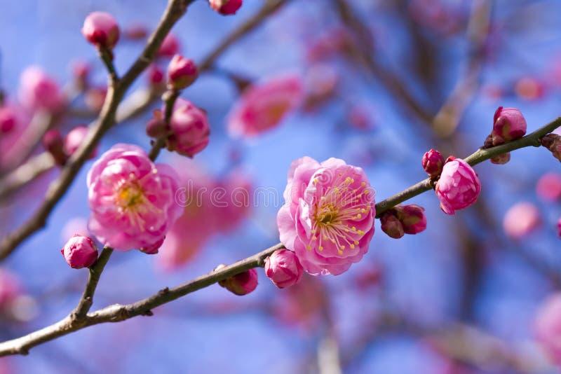 plommon för blomningblommapink royaltyfria foton