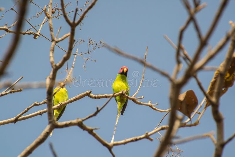 Plommon-hövdad parakiter på kal trädfilial royaltyfri fotografi