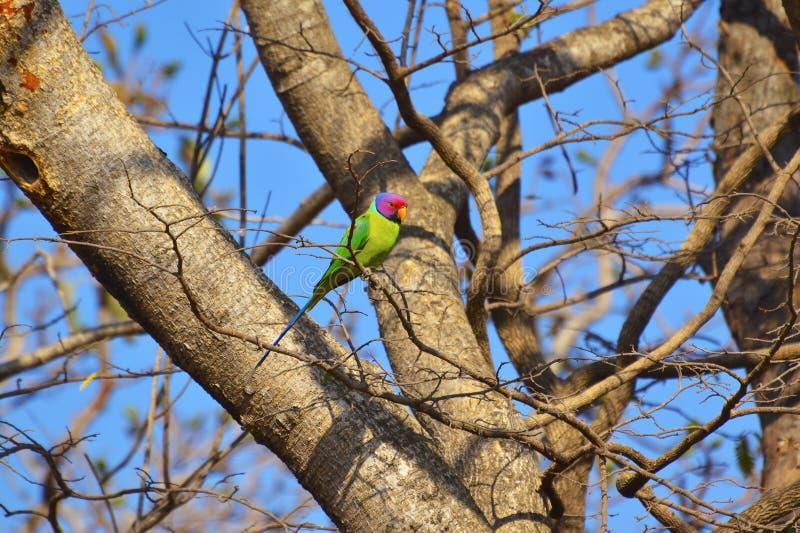 Plommon-hövdad parakiter, Psittaculacyanocephalaonfilial av ett träd på den Sagareshwar djurlivfristaden, Sangli, Maharashtra arkivfoto