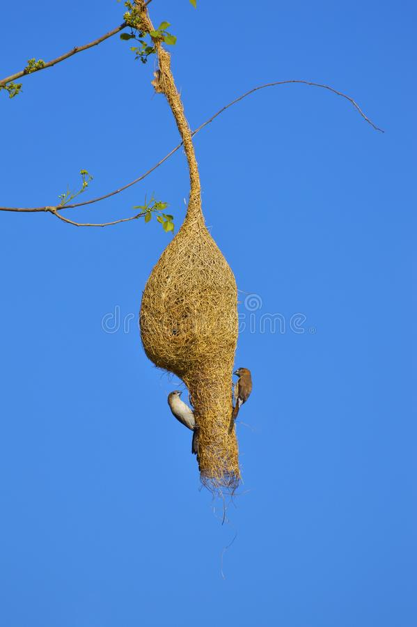 Plommon-hövdad parakiter, Psittaculacyanocephalaonfilial av ett träd på den Sagareshwar djurlivfristaden, Sangli, Maharashtra arkivbild