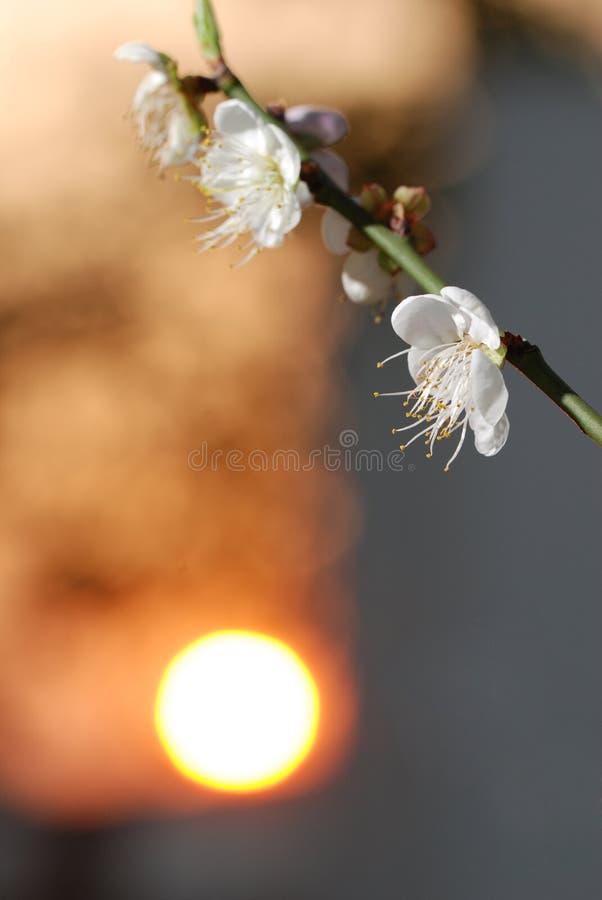 Plommonblomma och solnedgång fotografering för bildbyråer